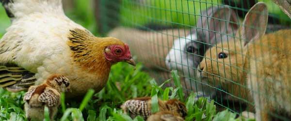 Hühner und Kaninchen im Garten vor Zaun