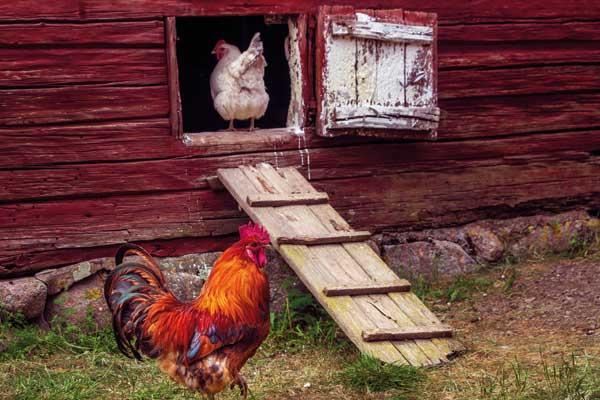 großer Hühnerstall aus Holz