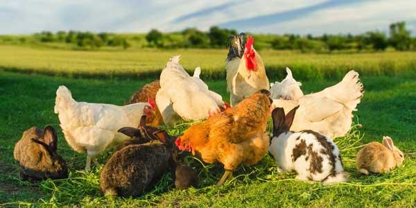 Hühner und Hasen im Garten