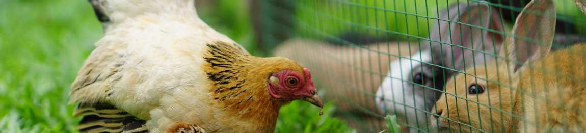Huhn und Küken pickend vor Hasenstall