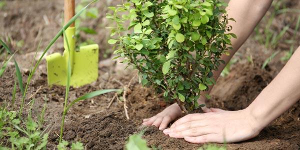 einpflanzen eines jungen Busches